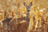 Jeleni v tallgrass oblasti