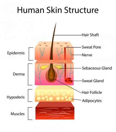 Illustration for Human skin structure, vector illustration, layered scheme - Royalty Free Image