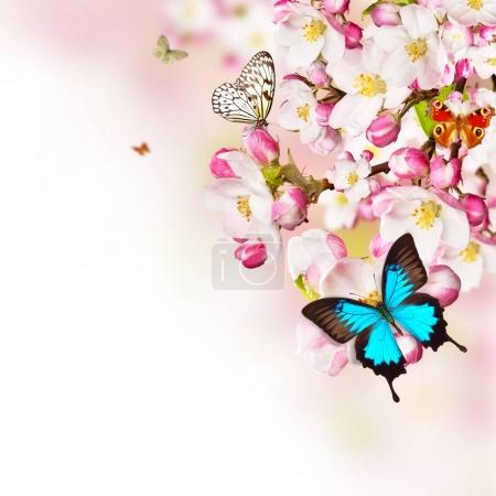Cherry blossoms with butterflies over blurred nature background