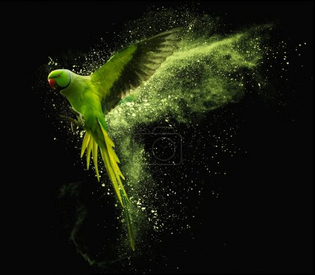 Photo for Flying green parrot Alexandrine parakeet with colored powder clouds. Isolated on black background - Royalty Free Image