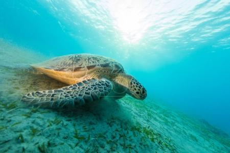 Hawksbill turtle eating sea grass from sandy bottom