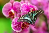 Beautiful butterfly Tailed jay, Graphium agamemnon, in tropical