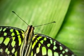 Beautiful butterfly Tailed jay, Graphium agamemnon in tropical f