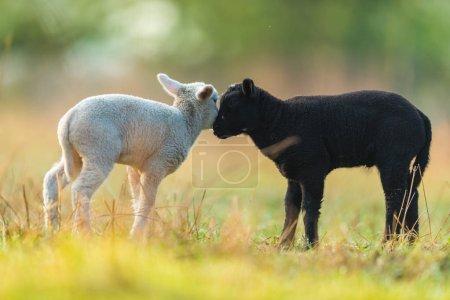 Photo pour Mignons différents jeunes agneaux noirs et blancs sur pâturage, tôt le matin au printemps. Symbole du printemps et de la vie du nouveau-né. Concept de diversité - image libre de droit