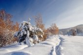 Path trail on winter bright white snow field on the background of yellow birch trees forest Altai Mountains, Siberia, Russia