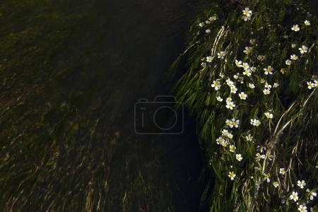 Small white flowers in the river. Tiny flowers are isolated on the dark green river.