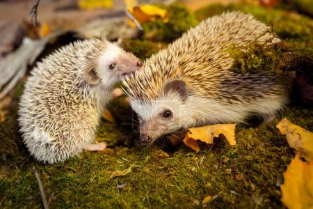 Small african pygmy hedgehogs