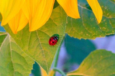 Photo pour Macro de coccinelle sur une lame de tournesol n le soleil du matin Ladybug - bug. Insecticide naturel qui détruit les ravageurs des cultures. Fermeture d'une coccinelle. - image libre de droit