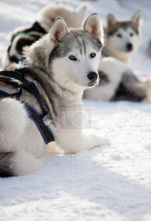Huskies resting outdoor before sled ride...