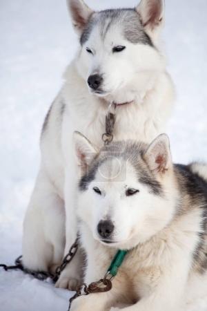 Huskies before sled ride
