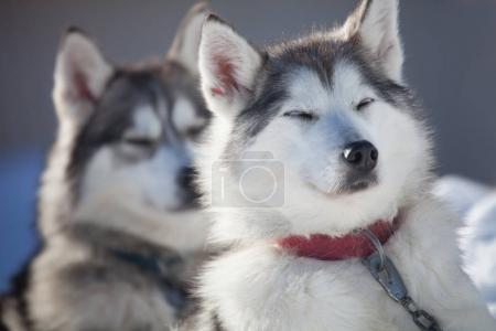 Huskies resting outdoor