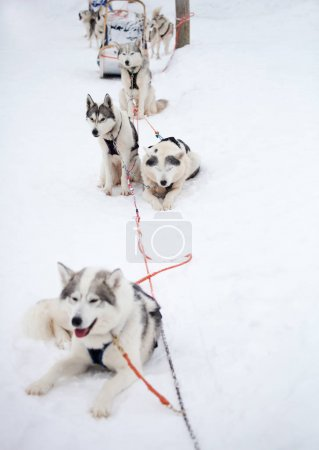 Siberian Huskies outdoor