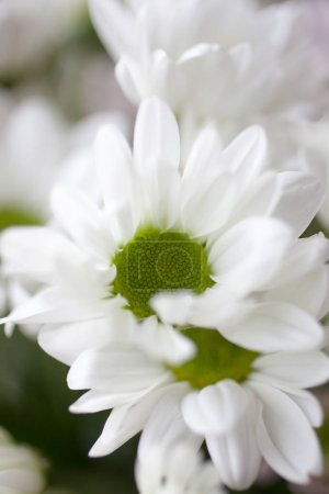 Photo for Bouquet of beautiful white chrysanthemums - Royalty Free Image