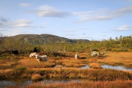 Photo pour Troupeau de moutons dans un paysage montagneux à Setesdal en Norvège. Les moutons norvégiens sont laissés sans protection dans les montagnes en été, malgré les grands prédateurs qui y vivent également . - image libre de droit