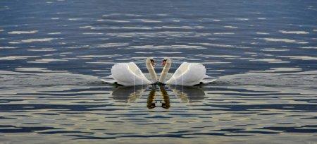 Photo pour Deux cygnes font un cœur - Les cygnes nagent dans le lac - image libre de droit