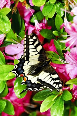 Photo pour Papillon à queue d'hirondelle dans le pré, Papilio machaon - image libre de droit