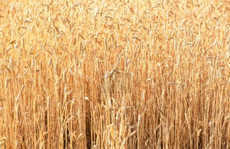 Photo for Wheat field. Ears of golden wheat close up. Beautiful Nature Sunset Landscape. Background of ripening ears of meadow wheat field. Rich harvest Concept - Royalty Free Image