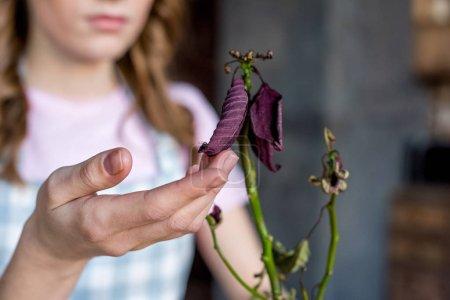 Photo pour Jeune femme touchant les feuilles séchées de la plante, se concentrer sur l'avant-plan - image libre de droit
