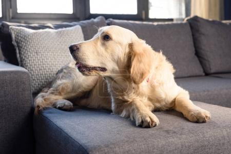 Photo for Cute golden retriever dog lying on sofa indoors - Royalty Free Image