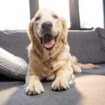 Close-up view of cute golden retriever dog lying o...