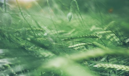 Photo pour Carte avec vert cônes de blé sur le champ de fond nature printemps. Paysage rural du village été floue de toile de fond sur la montagne. Soleil ciel bleu et de la flore à l'extérieur, style de vie vacances concep - image libre de droit