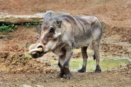 Adult warthog digging in the mud puddle...