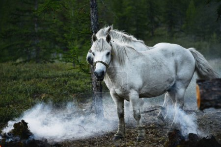 Yakut horse - hardy, but the obstinate animals...