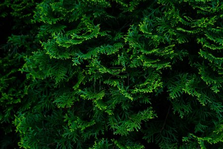 Photo pour Cyprès texture verte, Concept écologique bio - image libre de droit