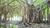 Very big banyan tree in the jungle., Tree of Life, Amazing Banya
