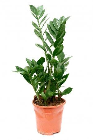 Zamioculcas flower Zanzibar Gem ZZ Plant aroid palm in brown plastic pot isolated on white background