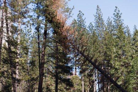 Photo pour Yosemite coupe d'arbres dans la vallée de Yosemite. Californie, parc national de Yosemite, hiver. Le service du parc national Yosemite a été chargé de couper la forteresse, ce qui représente un danger pour les visiteurs et les installations. Avec le nombre total d'arbres tués - image libre de droit