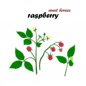 Beautiful vector illustration of raspberries details Sweet berries