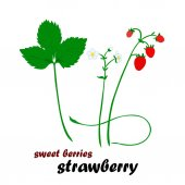 Vector illustration of strawberry Berries steam flowers and leaves of strawberry