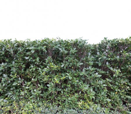 Photo pour Herbe verte buisson luxuriant isolé sur fond blanc - image libre de droit