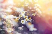 Beautiful flowering wild chamomile in spring - beautiful nature