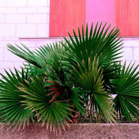 Foto de Palma en plantas urbanas en rosa moda mínimo verde - Imagen libre de derechos