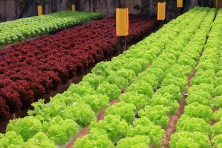 Photo for Rows of fresh multicolor lettuce in greenhouse - Royalty Free Image