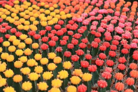 Beautiful multicolor cactuses in pots