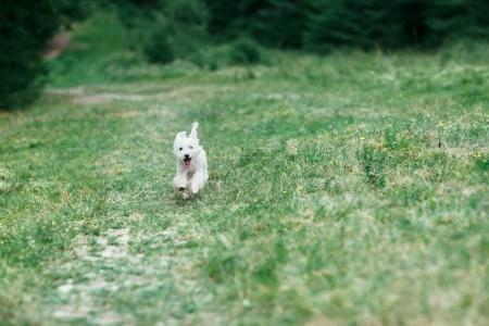 Portrait of white dog running on green field towards camera. Little white pet happily rushing towards the lawn. Animal entertained in nature