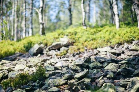 Photo pour Morceau de nature sauvage avec gros plan bush, de pierres et de bouleau. Paysage naturel de calme dans la forêt sur une journée ensoleillée. Paysage paisible et ensoleillé. Fond de nature - image libre de droit