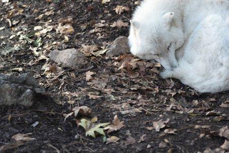 Photo pour Loup blanc dormant sur le sol au zoo - image libre de droit