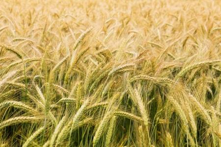 Partly ripened grains in a field - closeup