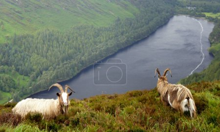 Mountain goats graze over the Upper Lake in the valley of Glendalough.Wicklow Mountains.Ireland.
