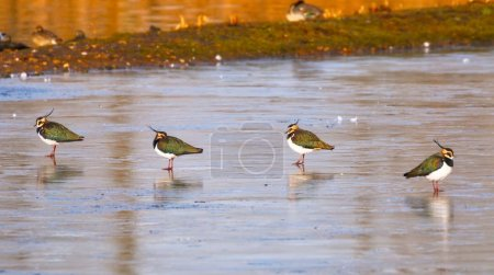 Lapwings stood on ice
