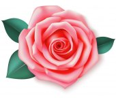Decorative pink rose with leaves Vector rose isolated on white