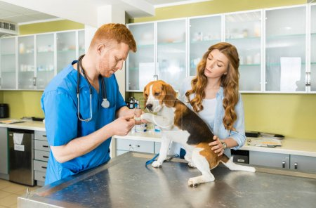 Doctor examining Beagle dog at clinic
