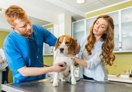 Doctor examining Beagle dog at clinic