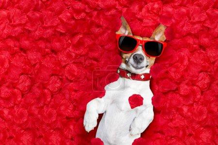 Photo pour Jack Russell chien couché dans le lit plein de pétales de fleur de rose rouge comme fond, en amour le jour de la Saint-Valentin - image libre de droit