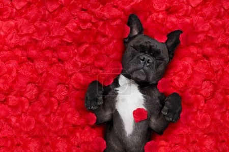 French bulldog dog lying in bed full of red rose f...