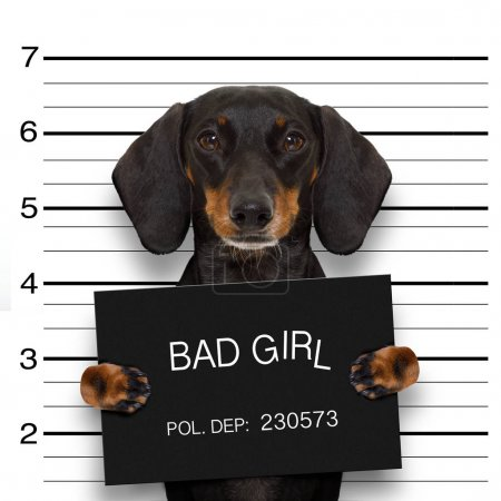 Dachshund sausage dog holding a police department ...